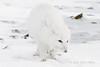 Arctic-fox-on-beach-2