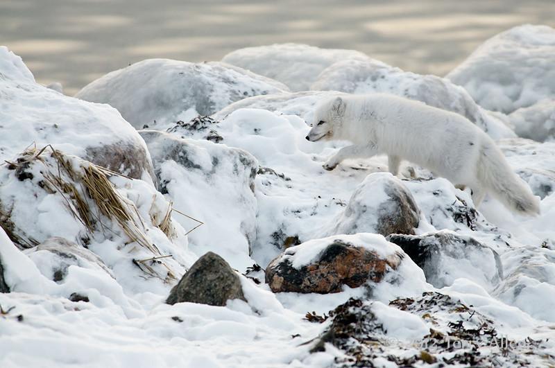 Arctic-fox-on-beach-4