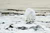 Arctic-fox-on-beach-10