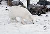 Arctic-fox-8