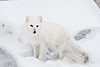 Arctic-fox-hunting-for-food-7