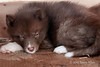 Eskimo dog puppy