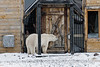 Polar-bear-by-Seal-River-Lodge-5