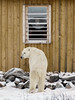 Polar-bear-at-the-window-1