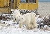 Polar-bears-meeting-of-strangers-4