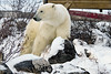 Visiting-polar-bear-1