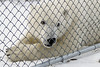 Polar-bear-Who's-in-the-cage .  In this shot the human in behind the fence, and the bear is free!