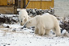 Polar-bears-meeting-of-strangers-3