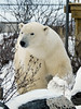 Visiting-polar-bear-2