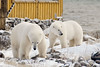 Polar-bears-meeting-of-strangers-6