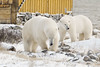 Polar-bears-meeting-of-strangers-5