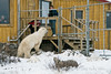 Visiting-polar-bear-and-arctic-fox-2