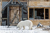 Polar-bear-by-Seal-River-Lodge-4