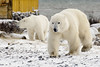 Polar-bears-meeting-of-strangers-10