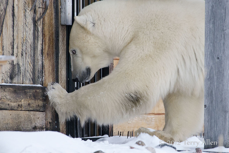 Polar-bear-wants-in-1