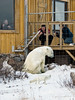 Visiting-polar-bear-and-arctic-fox-1