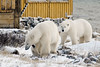 Polar-bears-meeting-of-strangers-7