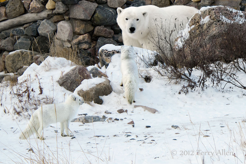 Polar-bear-&-arctic-foxes-1