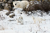 Polar-bear-&-arctic-foxes-5