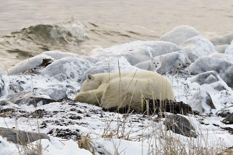 Sleeping-polar-bear-watched-by-arctic-fox