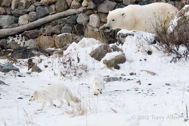 Polar-bear-&-arctic-foxes-3
