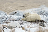Resting-polar-bear-&-arctic-foxes-2