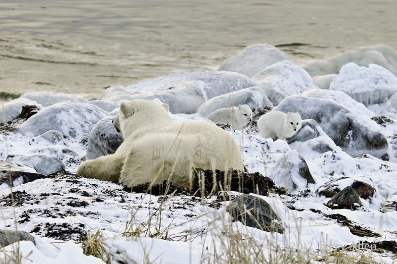 Resting-polar-bear-&-arctic-foxes