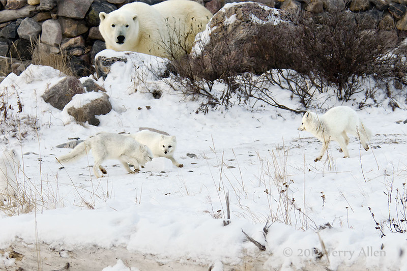 Wild polar bear watching wild artic foxes