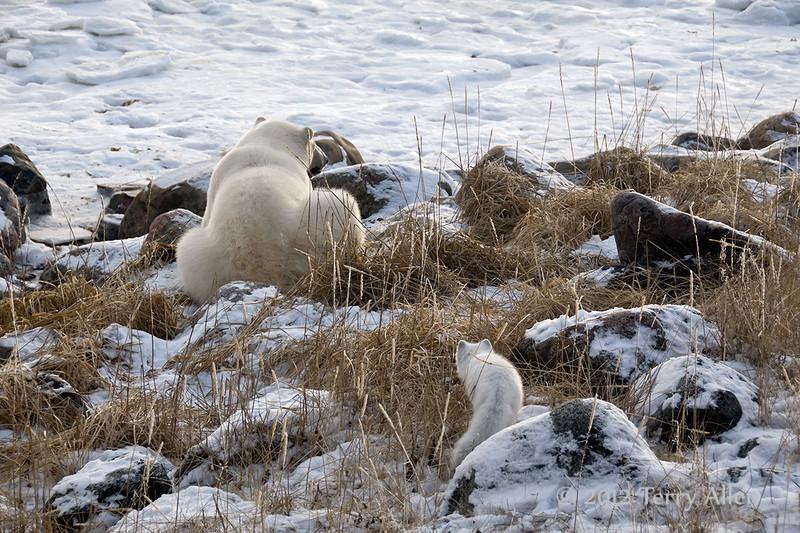 Polar-bear-and-Arctic-fox