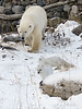 Polar-bear-&-arctic-foxes-8