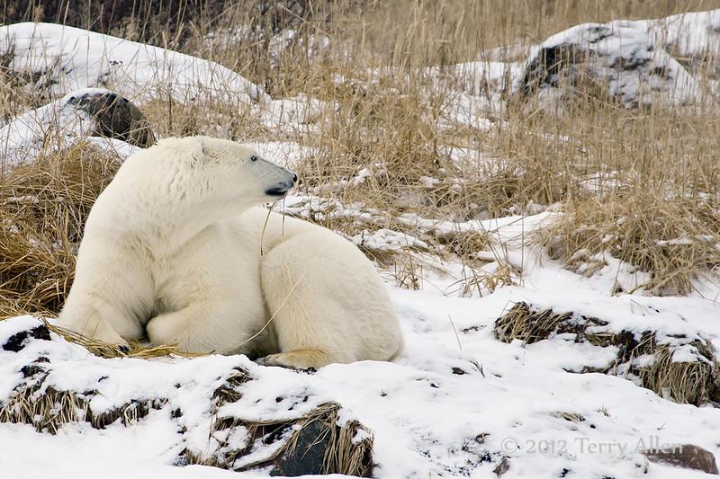 Polar bear-in-reed-grass-2