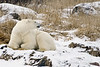 Polar bear-in-reed-grass-2