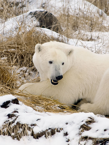 Polar bear-in-reed-grass-20