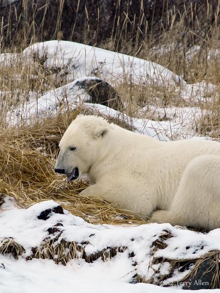 Polar bear-in-reed-grass-18