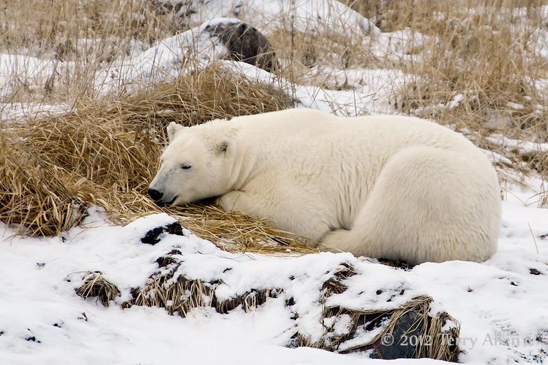 Polar bear-in-reed-grass-17
