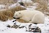 Polar bear-in-reed-grass-17