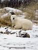 Polar bear-in-reed-grass-12