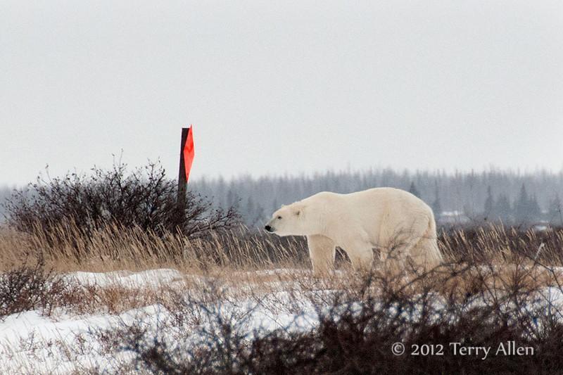 Polar bear-makes-environmental-statement-1