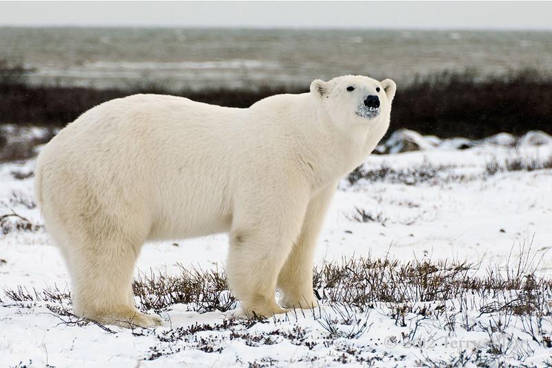 Polar bear-by-Hudson's-Bay-3