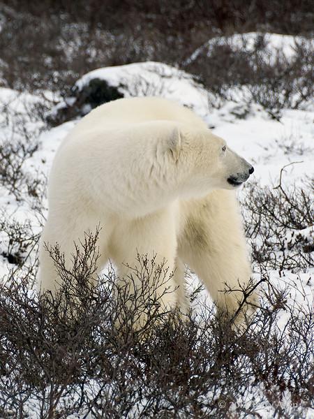 Polar bear-in-willows-1