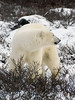 Polar bear-in-willows-1