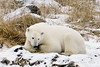 Polar bear-in-reed-grass-3