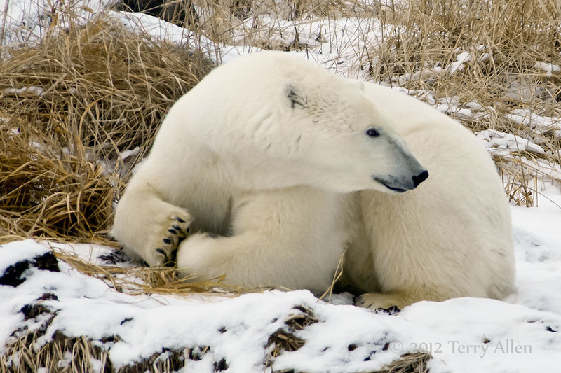 Polar bear-in-reed-grass-8