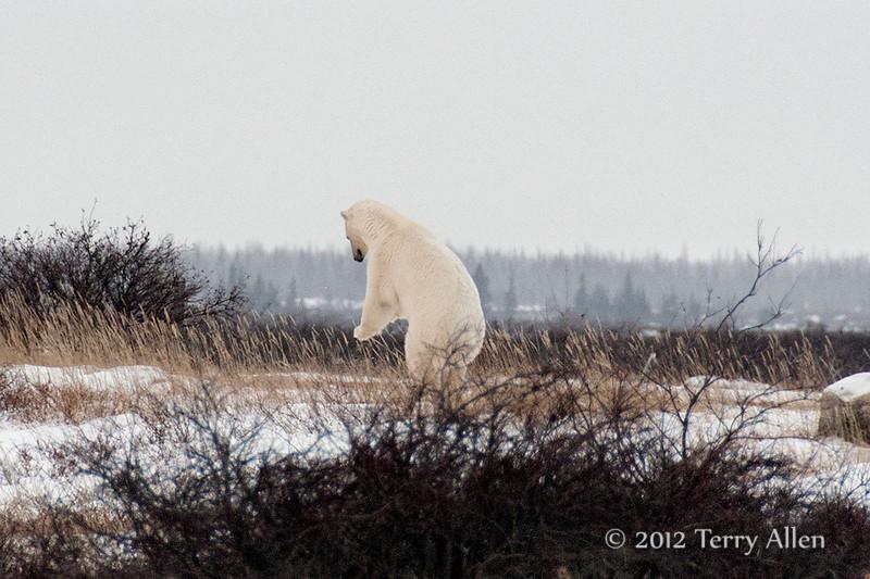 Polar bear-makes-environmental-statement-8