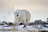 Polar bear-in-late-day-snow-1