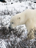 Polar bear-in-willows-3
