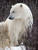 Polar bear-in-willows-8