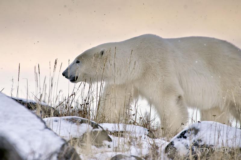 Polar bear-in-late-day-snow-3