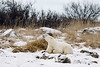 Polar bear-in-reed-grass-4