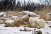 Polar bear-in-reed-grass-16